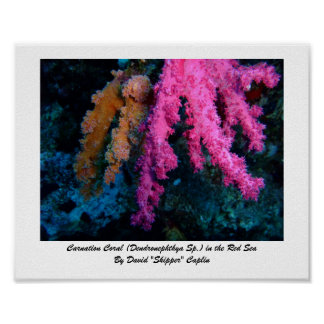 Carnation Coral Print