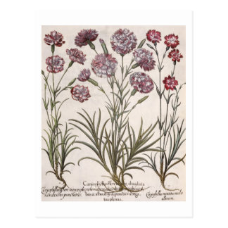 Carnations: 1.Caryophyllus flore majore; 2. Caryop Postcard