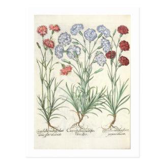 Carnations: 1.Caryophyllus multiplex flore albo; 2 Postcard