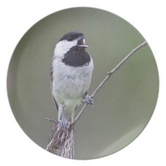 Carolina chickadee singing plate