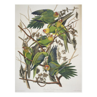 Carolina Parakeet, from 'Birds of America', 1829 Postcard