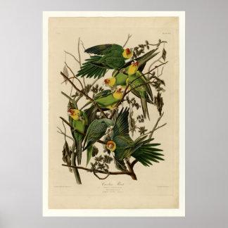 Carolina Parrot Poster