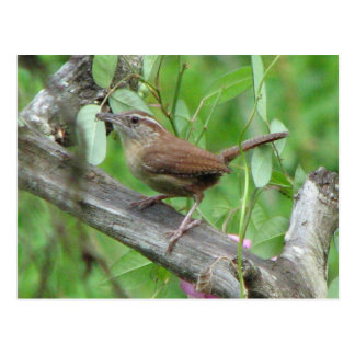 Carolina Wren Postcard