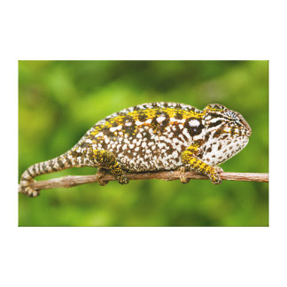 Carpet chameleon canvas print