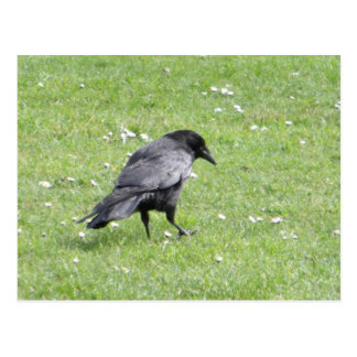 Carrion Crow In Grass Postcard