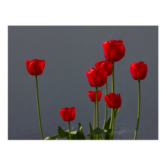 Carulmare Red Tulips CC0032 Postcard