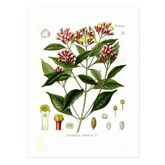 Caryophyllus aromaticus (Clove) Postcard