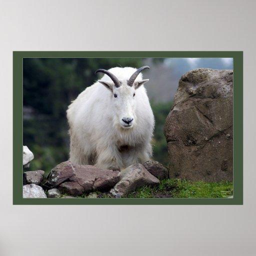 Cascade Mountain Goat Poster