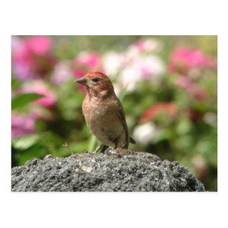 Cassin's Finch Postcard