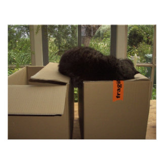 Cat 'Bram' sleeping on boxes Posters
