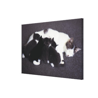 cat feeding kitten stretched canvas prints