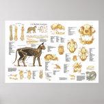 "Cat Feline Skeletal Anatomy Poster 24"" X 36"""