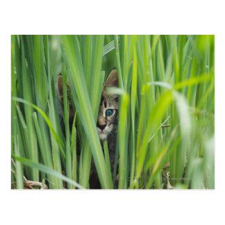 Cat hiding in grass postcard