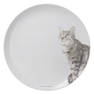 Cat looking up plate