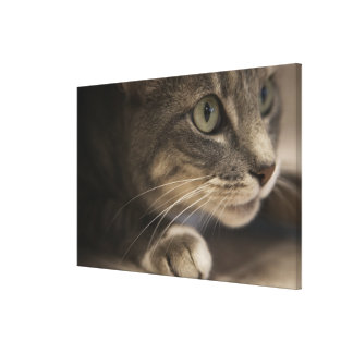 'Cat lying down, close-up (focus on cat's face)' Canvas Print