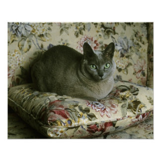 Cat, Minnie, Tonkinese. Poster