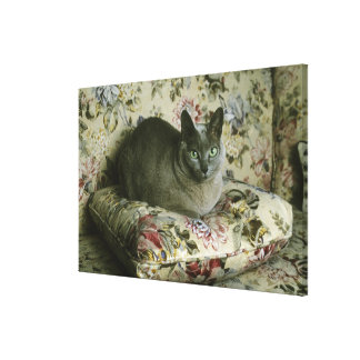Cat, Minnie, Tonkinese. Stretched Canvas Print