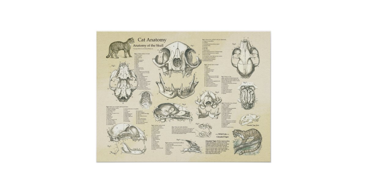 Cat Skeletal Skull Bones Anatomy Chart Zazzle