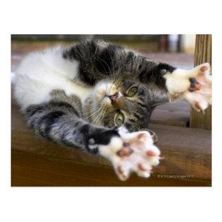 Cat stretching, indoors postcard