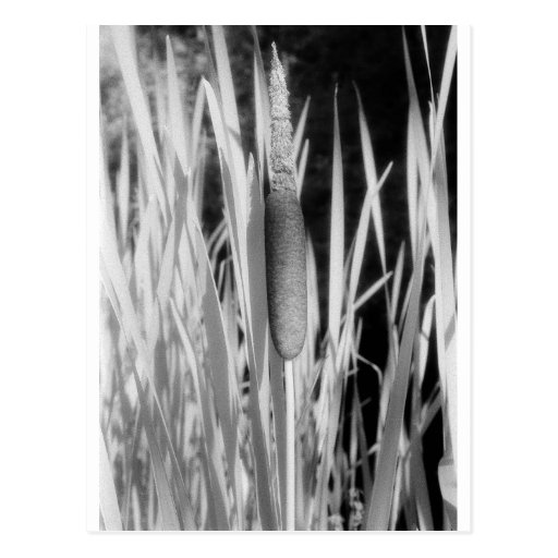 Cat Tail in black and white Post Cards
