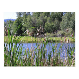 Cat tails lake Post Card