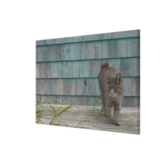 Cat with no tail canvas print