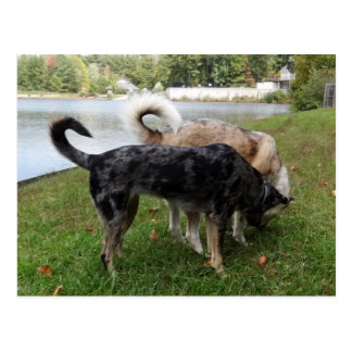 Catahoula Leopard Dog and Ausky Dog Sniffing Postcard
