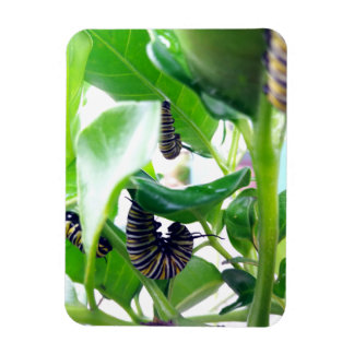 Caterpilar of the Monarch Butterfly Rectangular Photo Magnet