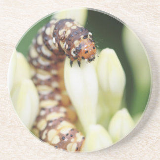 Caterpillar Larvae Of Lily Borer Butterfly Beverage Coasters