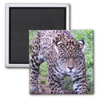 Cats Jaguar Safari Jungle Destiny Nature Magnets