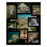 Cats of the Cincinnati Zoo ~ poster prints Poster