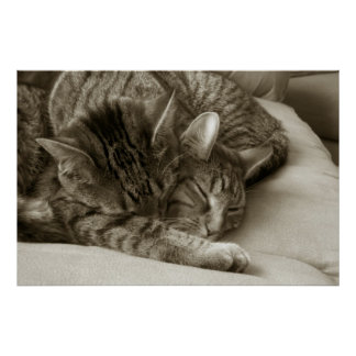 Cats Sleeping together Poster