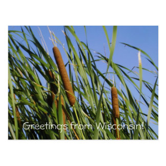 Cattails/Greetings from Wisconsin! Postcard