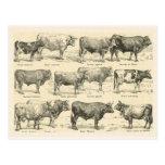 Cattle Breeds, France, Various breeds 3 Postcards