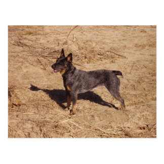 Cattle Dog Post Card