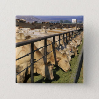 Cattle eat at a feedlot in Grandview, Idaho. 15 Cm Square Badge