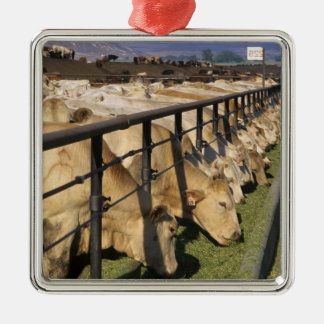 Cattle eat at a feedlot in Grandview, Idaho. Christmas Ornament