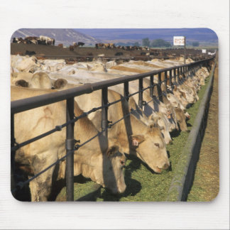 Cattle eat at a feedlot in Grandview, Idaho. Mouse Mat