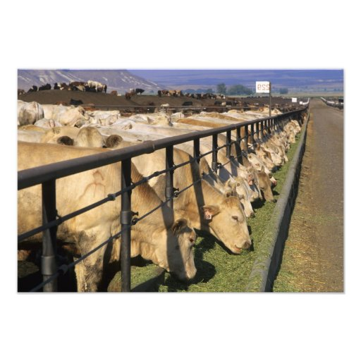 Cattle eat at a feedlot in Grandview, Idaho. Photograph