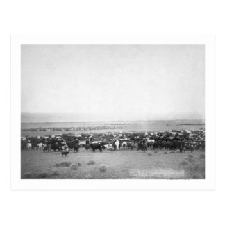 Cattle Herding in South Dakota Photograph Postcard