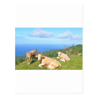 Cattle in the Azores. Postcard