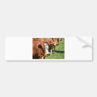 Cattle in the Isles of Scilly Bumper Stickers