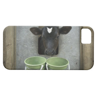 Cattle, Individual Pen iPhone 5 Cases