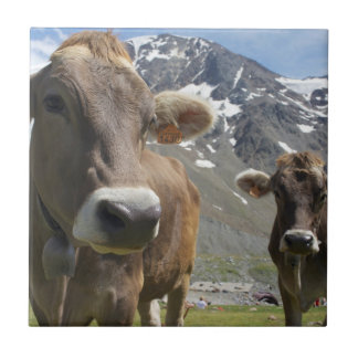 Cattle of the 'Alpine Brown' breed Tile