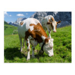 Cattle On High Pasture In Karwendel Mountain 2 Postcard