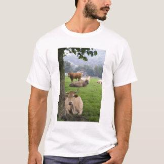 Cattle on rural farmland near the town of T-Shirt