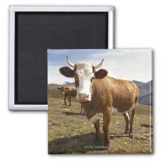 Cattle Square Magnet