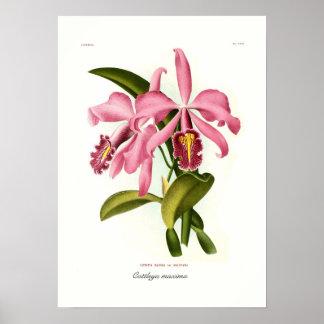 Cattleya maxima poster