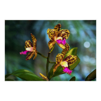 Cattleya Orchid Art Poster -60x40 -or smaller