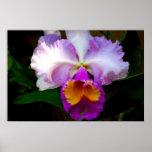 Cattleya Orchid - White/Purple/Yellow Poster